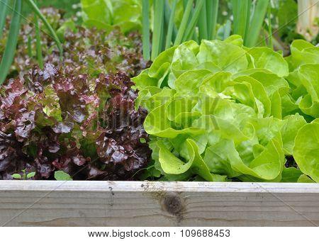 Freshness Lettuce