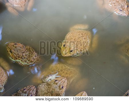 The Raising Frogs In Pond. Frogs That Farmers Taken Nourished Up In A Pond.