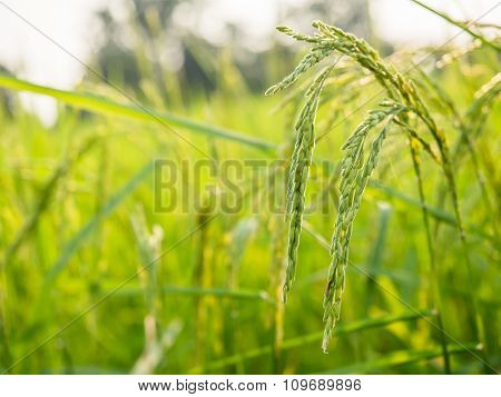 Close Up Of Yellow Green Rice Field ,rice Spike In Rice Field.