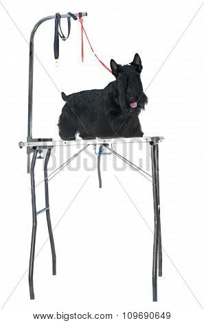 Purebred Scottish Terrier On Grooming Table