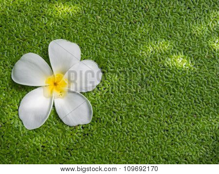 White Color Of Plumeria Flower Floating On Duckweeds With Shadow Of Tree.