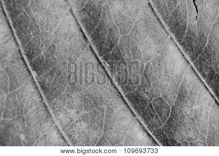 Monochrome Blurry Macro Background Of Dry Leaf, Focus On Center Of The Image.