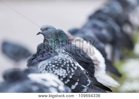 Many Pigeons In Saint Petersburg