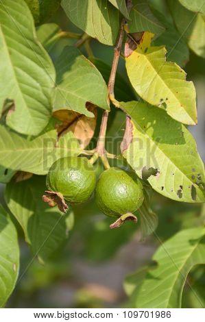 green guava fruit