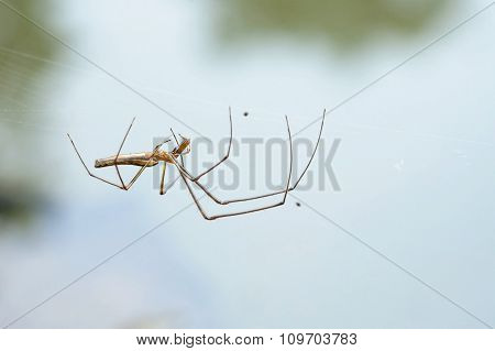 Portrait of a Stretch Spider