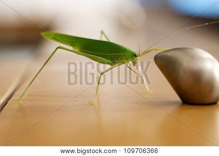 Green bush cricket or long-horned grasshopper catching on the drawer's knob, blur bokeh background