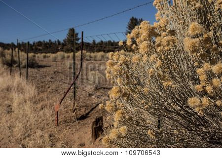 Bur Bush And Wired Fence