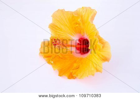 Orange Chinese Rose Flower Isolated