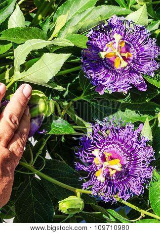 Passion Flower (Passiflora Temptation)