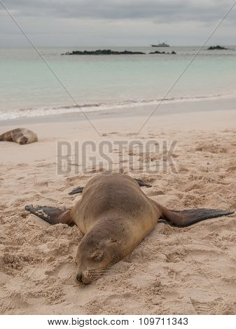 Sprawled Sleeping Sea Lion