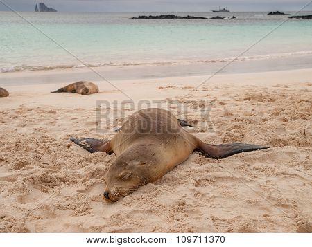 Sprawled Sleeping Sea Lion