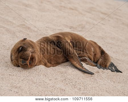 Sleeping Baby Sealion