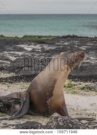 Snobby Sea Lion