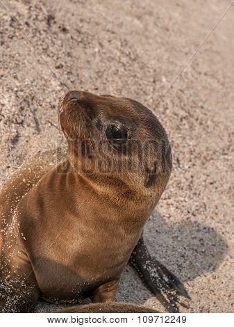 Baby Sea Lion Sitting Up