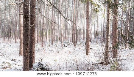 Peering through a forest of pines.