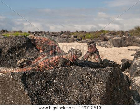 Four Iguanas