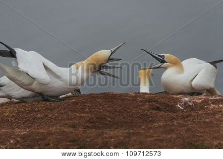 Wild Migrating Gannets At Island Helgoland, Germany, Summer Time