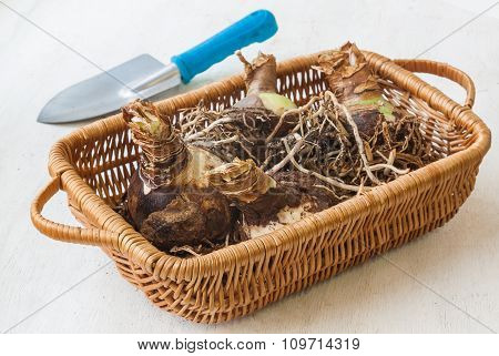 Bulbous Tubers Hippeastrum (amaryllis)   On A Basket