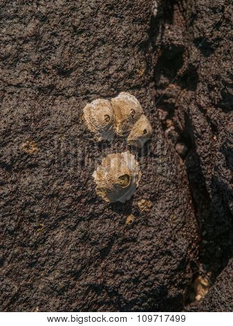 Barnacles On Rock