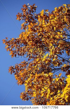 Tops Of Golden-leaved Oak Trees