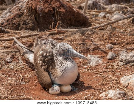 Blue Footed Booby And Eggs