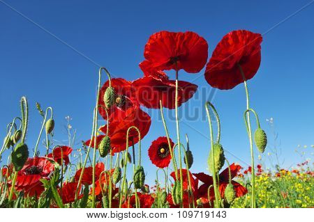 Poppies Against Blue Sky.