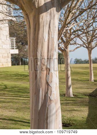 Three White Sycamore Trees