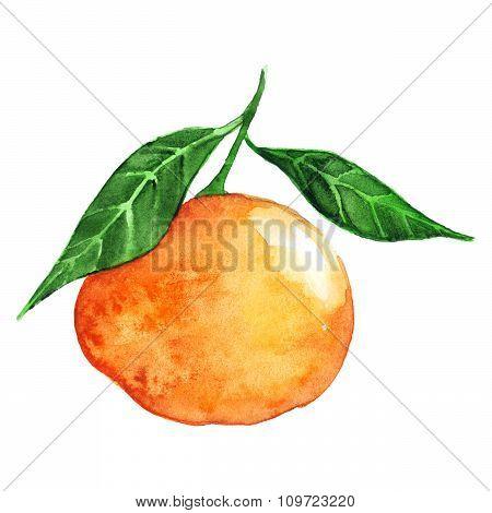 Watercolor mandarin citrus fruit isolated