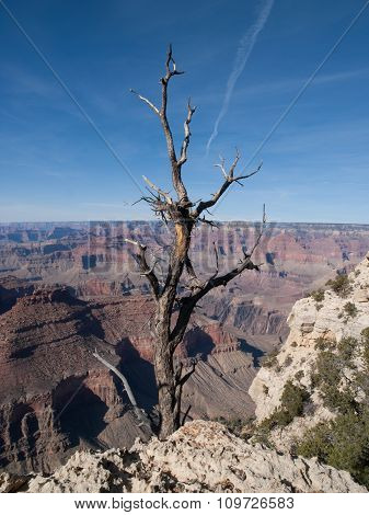 Tree And Grand Canyon