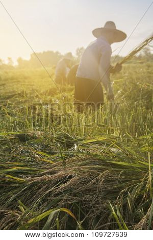 Workers Cutting Rice In The Paddy Field