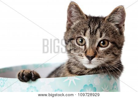 Striped Kitten Looks In A Blue Gift Box
