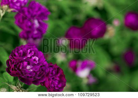 Purple roses in the garden Baden Austria