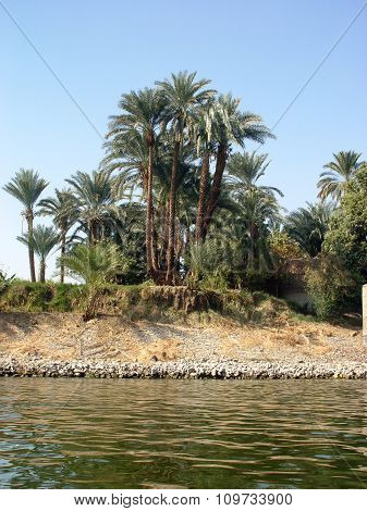 Palm Trees On The Banks Of The Nile
