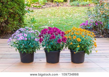 Colorful Mum Flowers