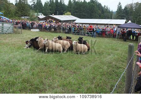 Sheepdog Demonstration