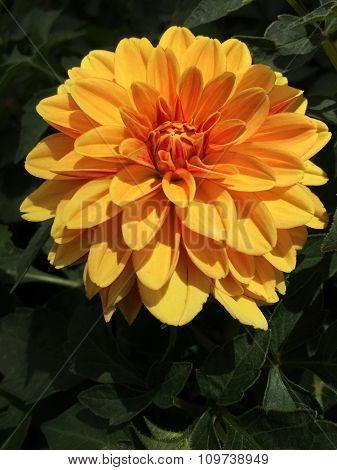 Bright Golden Dahlia