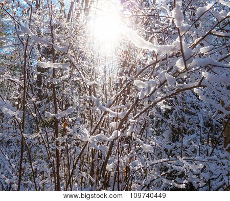 Brilliant shining winter sunburst through young forest.