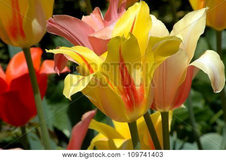 Colorful bright red and yellow tulips