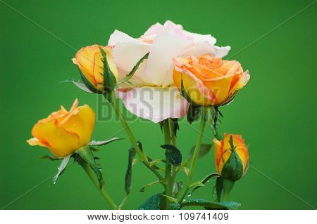 Four (4) golden roses around a white / pink rose