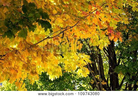 Fall Leaves On Maple Tree