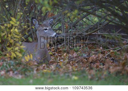 Deer In The Undergrowth