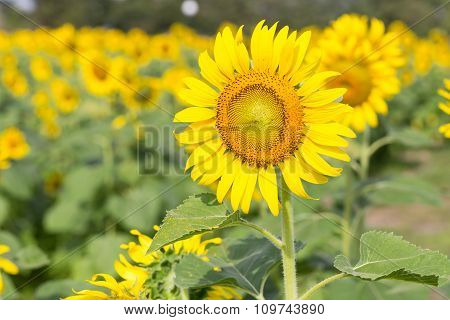 Sunflowers In The Farm