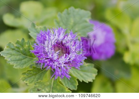 Lovely Violet Colour Blossom Flower Queen Anne's Thistle