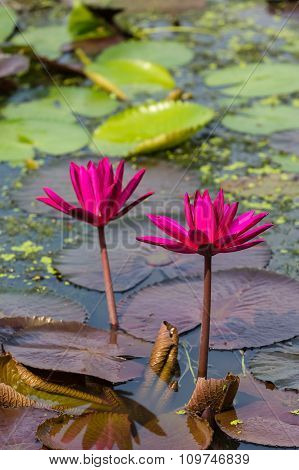 Red waterlily in the natural pond