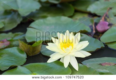 Yellow waterlily blooming in the natural pond