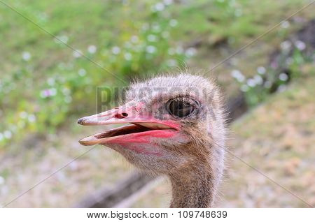 Close-up Head Shot Of One Ostrich.