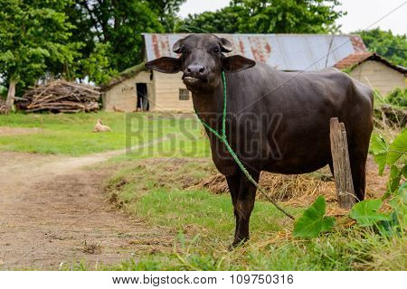 Buffalo in a farm in Terai, Nepal