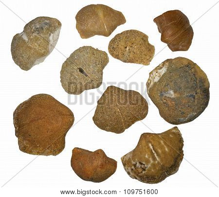 A collection of fossilized brachiopods