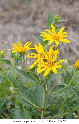 yellow sunchoke flower