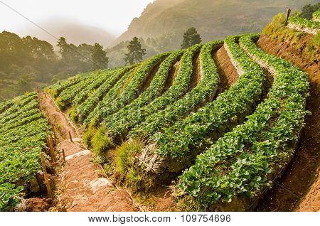 Strawberry Farm At Doi Angkhang, Chiangmai, Thailand